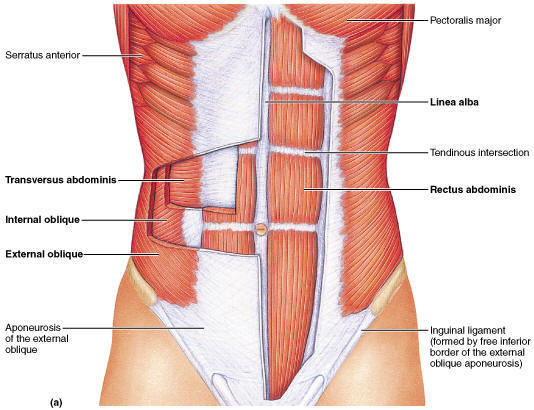 outer_core_muscles